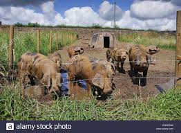 Domestic Pig Oxford Sandy And Black Weaners In Paddock With Ark And Stock Photo Alamy