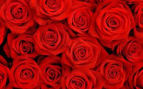 rose flowers wallpaper photos 6910366