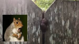Squirrel Gets Nuts Stuck In Fence The Hunting News