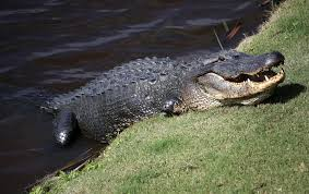 Alligator Climbs Fence Of Naval Air Station In Jacksonville