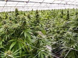 DEA May Soon Allow More Growers To Produce Cannabis For Medical ...