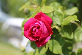 red rose flower roses garden