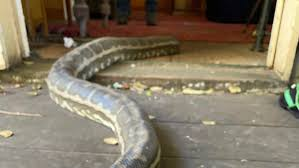 2 pythons weighing 100 pounds collapse