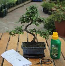 eight year old bonsai tree basic gift