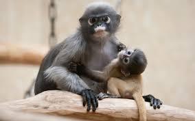 تحميل خلفيات القرد الثدييات شبل القرود عريضة 1920x1200 جودة
