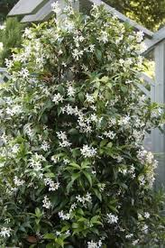 fast growing evergreen shrubs for small
