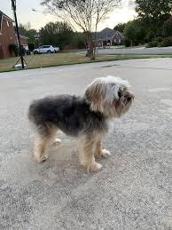 Dog Breed Standard Poodle Danger Sticker Pet For Bumper Locker Car Door Archives Statelegals Staradvertiser Com