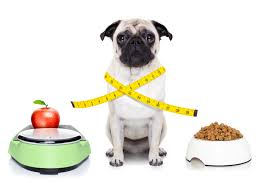 pug health and t feeding home made food