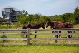 Corolla Wild Horse Tours Wild Mustangs Of The Outer Banks
