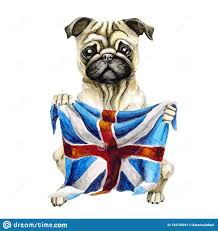 Dog Breed Pug Holding A British Flag. England. Isolated On White ...