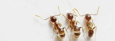 borax ant recipes make your own