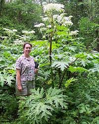 Solomon's words for the wise: Giant Hogweed In Potter But Not In ...