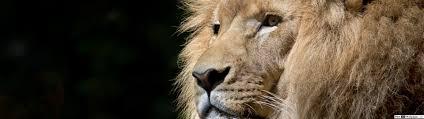 king lion head hd wallpaper