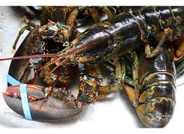 maine lobsters shippedgift package 6