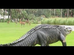 Massive Alligator Takes Casual Stroll Through South Carolina Golf Course Youtube In 2020 Alligator Deer Family South Carolina