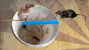 rat trap homemade in cambodia you