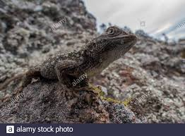 Western Fence Lizards High Resolution Stock Photography And Images Alamy
