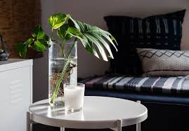 swiss cheese plant in clear vase