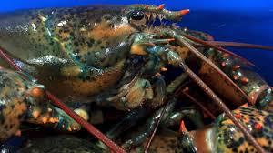 Slow lobster season so far in Maine ...