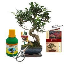 gift set bonsai ficus chinese fig
