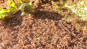 View Swarm Of Red Ants Gif
