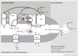 chloroplast proton motive force