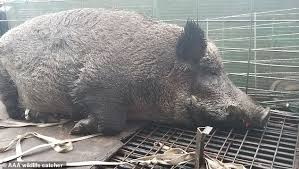 400 lb hog captured near florida school