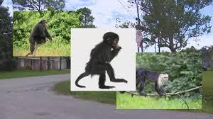 monkey still on the loose in santa fe