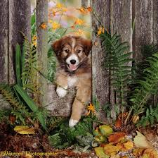 Dog Border Collie Pup Looking Through A Fence Photo Wp08733