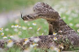 Image result for western diamondback rattlesnake
