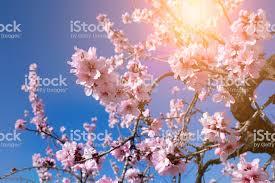 Fondo De Flor De Primavera Hermosa Escena De La Naturaleza Con Árbol En  Flor En El Día Soleado Flores De Primavera Hermoso Huerto En Primavera  Fondo Abstracto Foto de stock y más