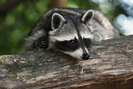 Gardeners Dealing With Raccoons Deerfence