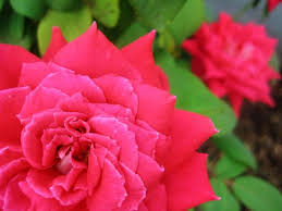 planting roses how to plant roses for
