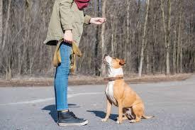 """Treinar um cão adulto para fazer o comando """"sentar"""". pessoa que ..."""