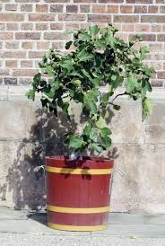 planting fig trees in pots how to