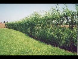 Complete Guide To Planting A Living Fence Youtube