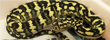 care of jungle carpet pythons