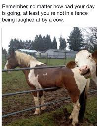 Gratitude How Bad Was Your Day Cows Funny Funny Animal Photos Funny Cow Pictures