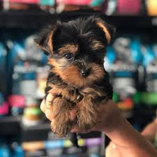 tiny teacup yorkie puppies
