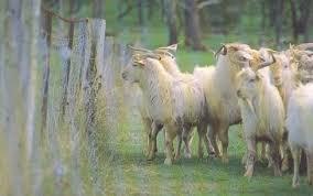 Http Www Dpi Nsw Gov Au Data Assets Pdf File 0005 178502 Goat Fencing Pdf