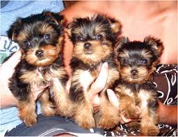teacup yorkie puppies craigslist