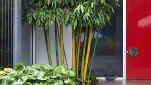 grow bamboo for small gardens pots