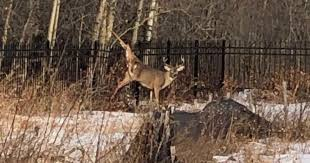 Deer Trapped In Southwest Edmonton Fence Euthanized Residents Call For Change Edmonton Globalnews Ca