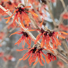 diane witch hazel hamamelis x