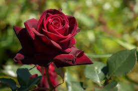 flower garden roses flowering plant