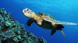 sea turtle wallpaper 1920x1080 40868
