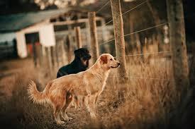 golden retriever fluffy cute fence