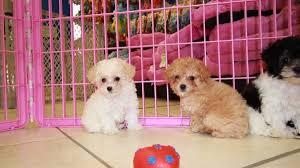 poodle puppies in atlanta
