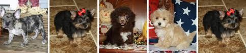 teacup yorkies poodles maltipoos