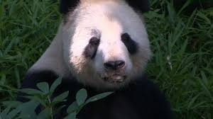 National Zoo Curator Brandie Smith: How to Make a Baby Panda Video ...